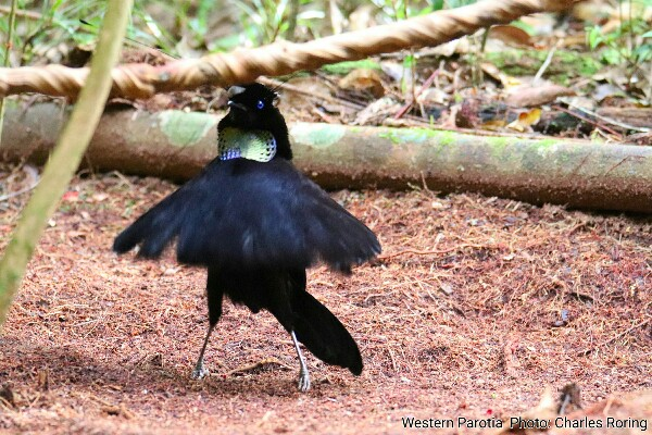 the bird of balerina